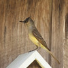 Great Crested Flycatcher SS1747