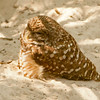Burrowing Owl SS0979