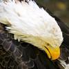 Bald Eagle 54278