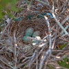 Mockingbird Nest with Eggs