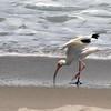 White Ibis SS02412