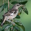Mockingbird Chick
