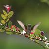 Hummingbird_SS8228
