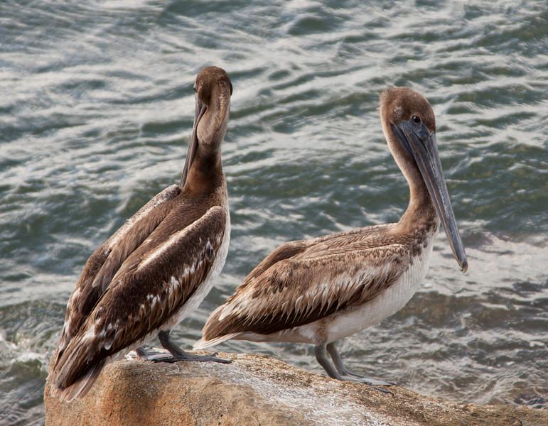 Brown Pelican SS01382