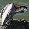 Brown Pelican SS02558