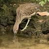 Juvenile Yellow-crowned Night Heron SS1788