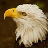 Bald Eagle 54841