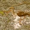 Juvenile White Ibis SS1012
