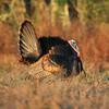 Osceola Turkey Gobbler