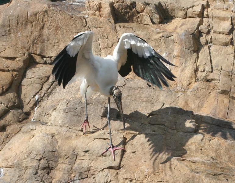 Ironhead Stork