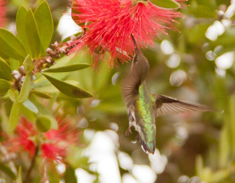 Hummingbird SS16050201219