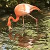 Flamingo SS1636