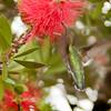 Hummingbird SS16050201218