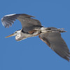 Great Blue Heron SS02400