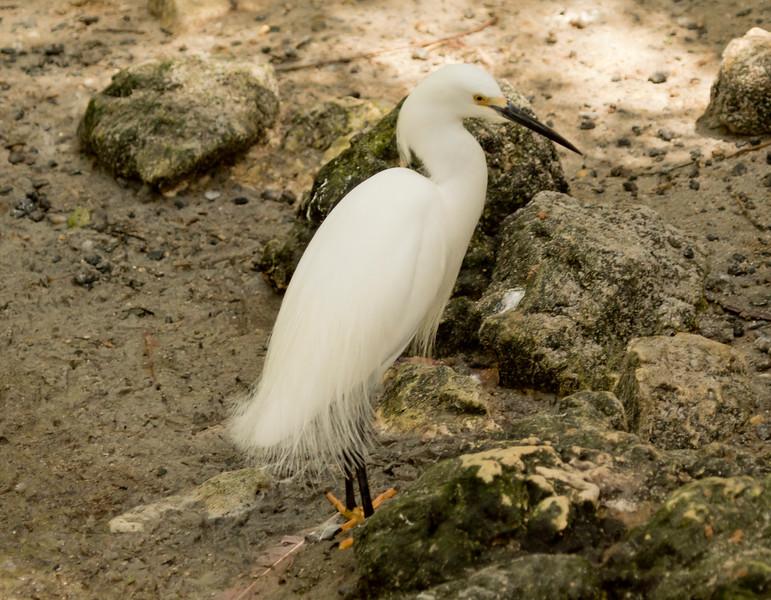 Snowy Egret SS1828