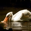 White Pelican SS1678