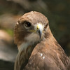 Red-tailed Hawk SS1988