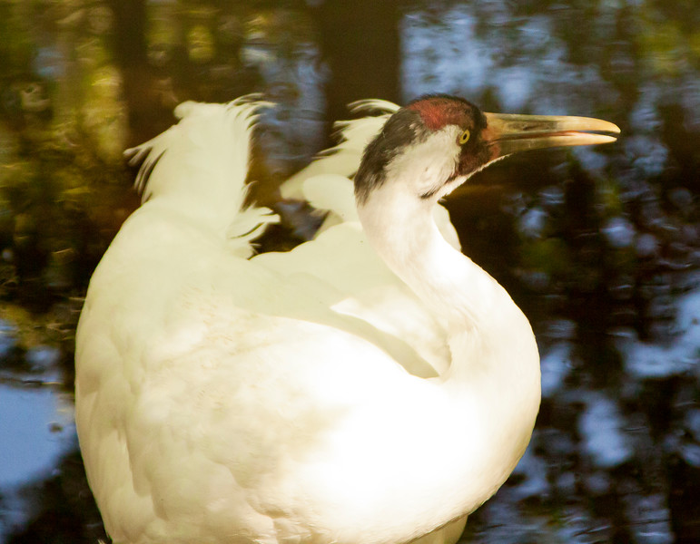 Whooping Crane SS0778