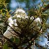 White Egret Chicks