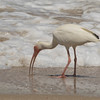 White Ibis SS02418