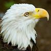 Bald Eagle 54845
