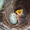 Baby Mockingbird SS1512