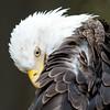 Bald Eagle 54381