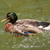 Green Head Duck Drake
