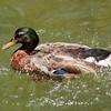 Green Head Duck Drake
