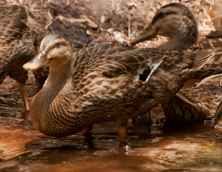 Florida Mallard Duck Hens