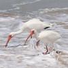 White Ibis SS1330