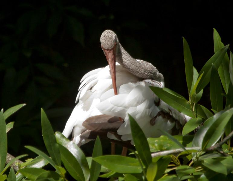 Juvenile Whooping Crane