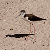 Black-necked Stilt SS0877