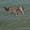 Brown Pelican SS01445