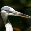 Great Blue Heron SS1739
