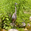 Juvenile Great Blue Heron