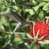 Hummingbird_SS2448