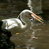 Great White Egret SS1695