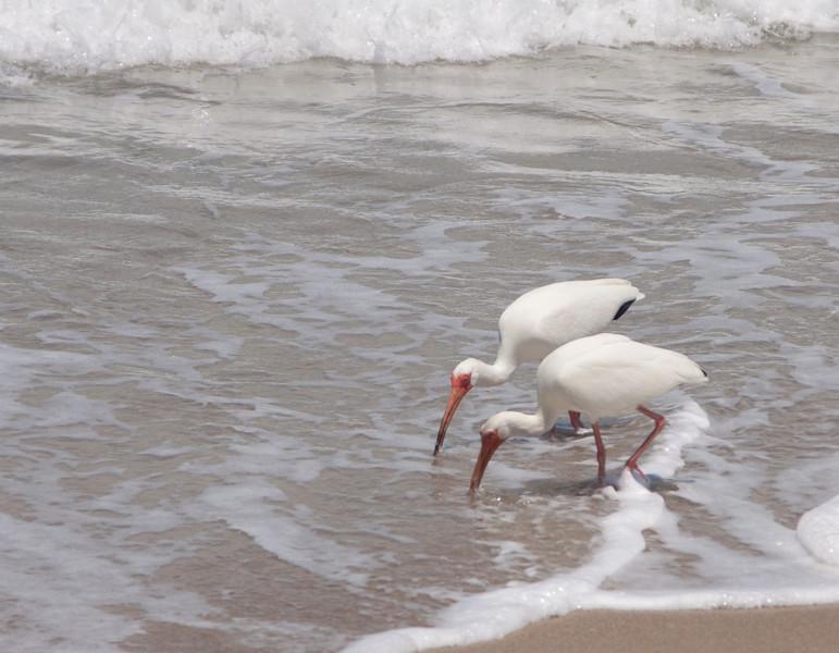 White Ibis SS1326