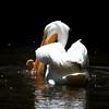 White Pelican SS1704
