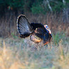 Osceola Wild Turkey Gobbler