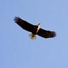 Bald Eagle Flight 58016