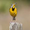 Meadowlark_SS3769