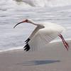 White Ibis SS1334