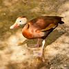 Whistling Duck SS0884