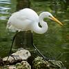 Common Egret