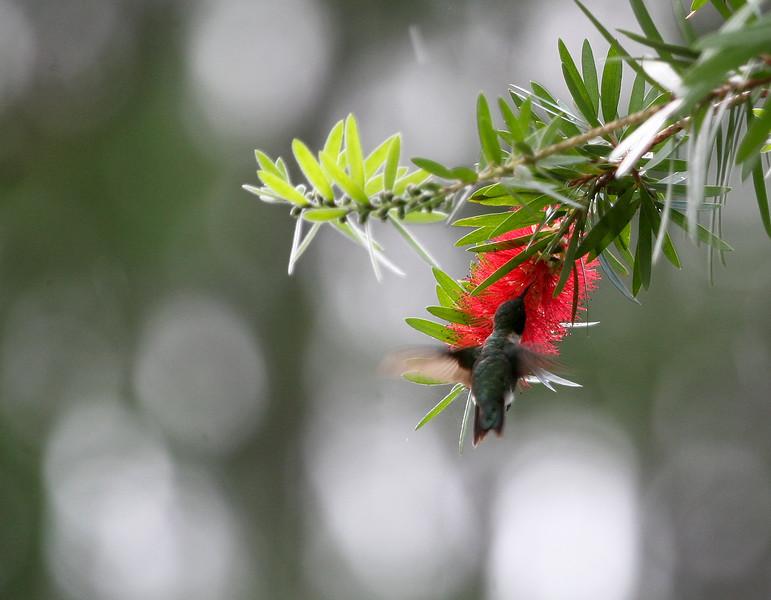 Male Ruby-throated Hummingbird