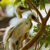 Common Egret Chicks