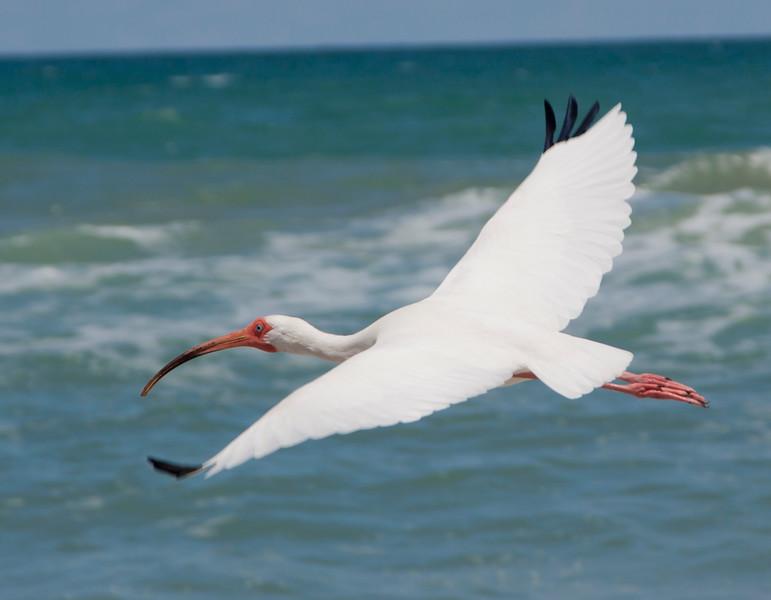 White Ibis SS01335