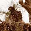 American Bald Eagle Chick